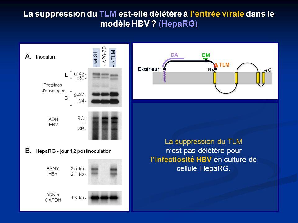 La suppression du TLM est-elle délétère à l'entrée virale dans le modèle HBV (HepaRG)