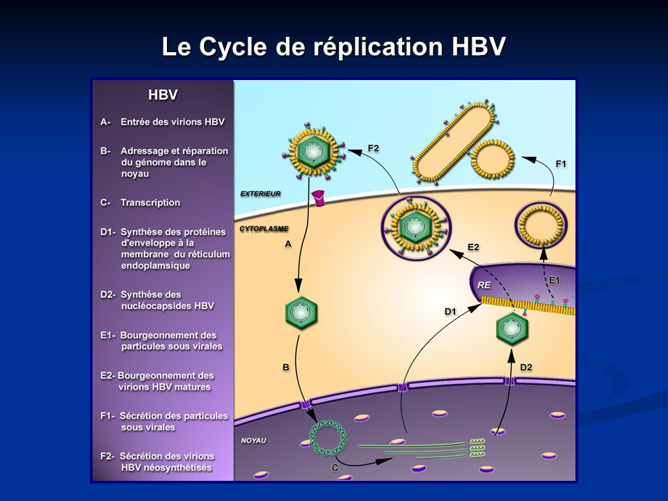 Le Cycle de réplication HBV