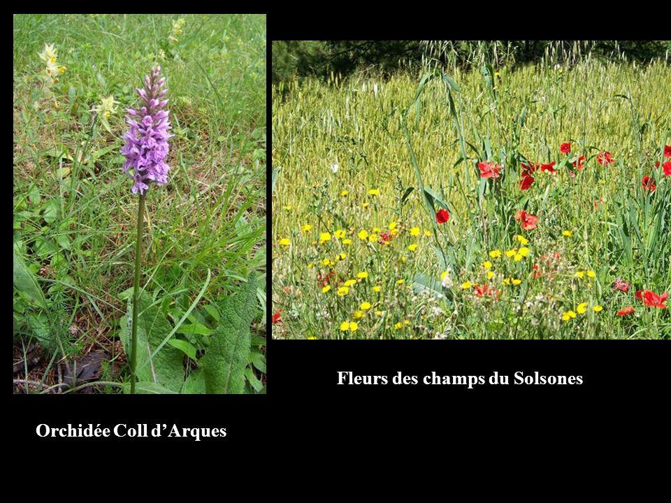 Fleurs des champs du Solsones