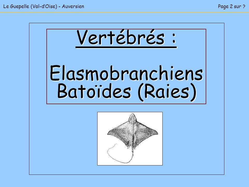 Vertébrés : Elasmobranchiens Batoïdes (Raies)