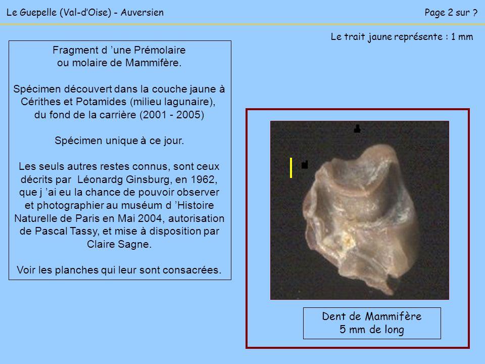 Fragment d 'une Prémolaire ou molaire de Mammifère.