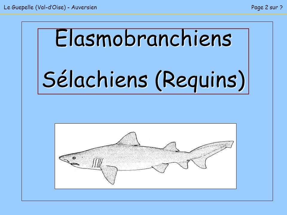 Elasmobranchiens Sélachiens (Requins)
