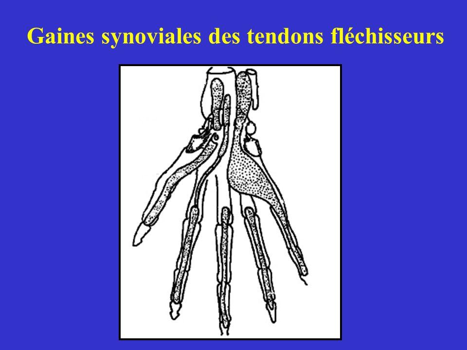 Gaines synoviales des tendons fléchisseurs