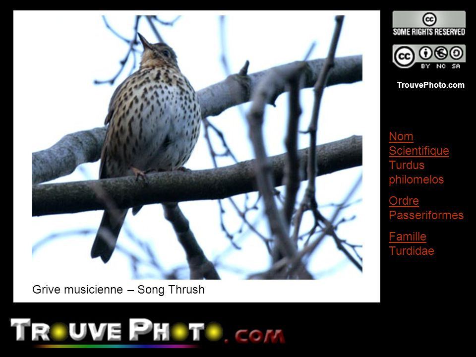 Grive musicienne – Song Thrush