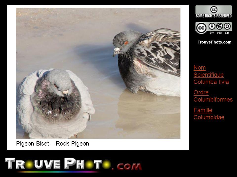 Pigeon Biset – Rock Pigeon