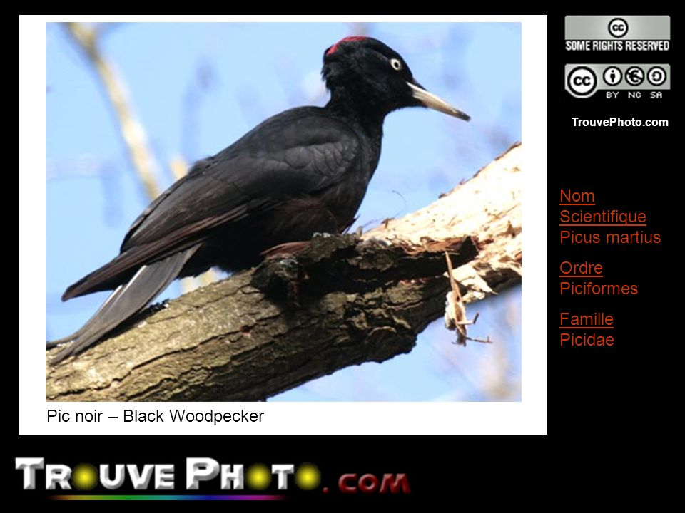 Pic noir – Black Woodpecker