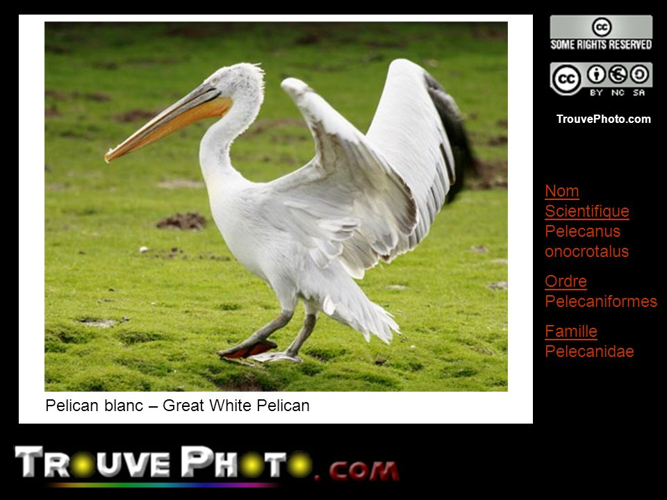 Pelican blanc – Great White Pelican