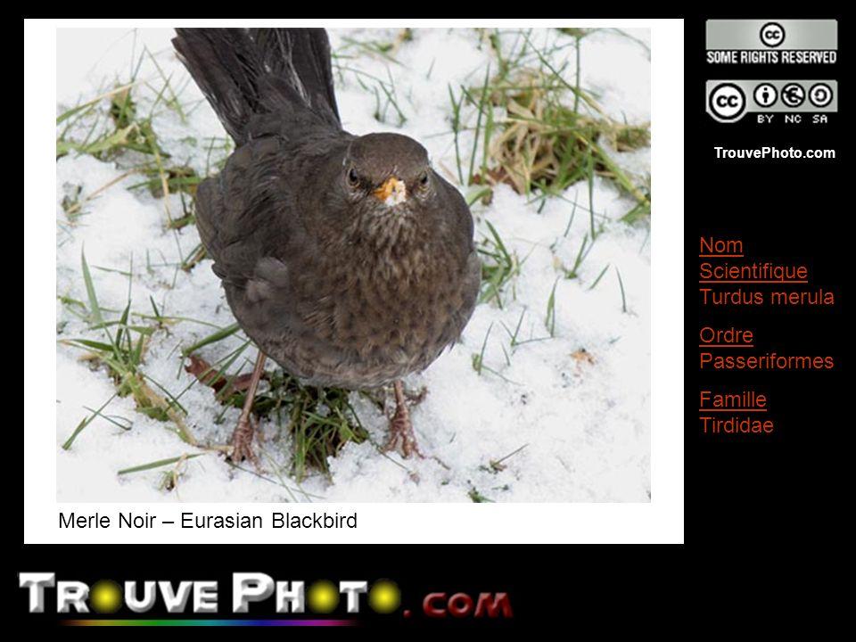 Merle Noir – Eurasian Blackbird