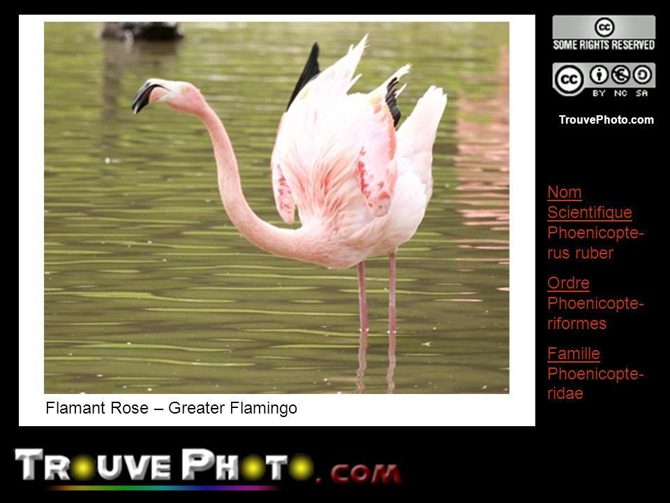 Flamant Rose – Greater Flamingo