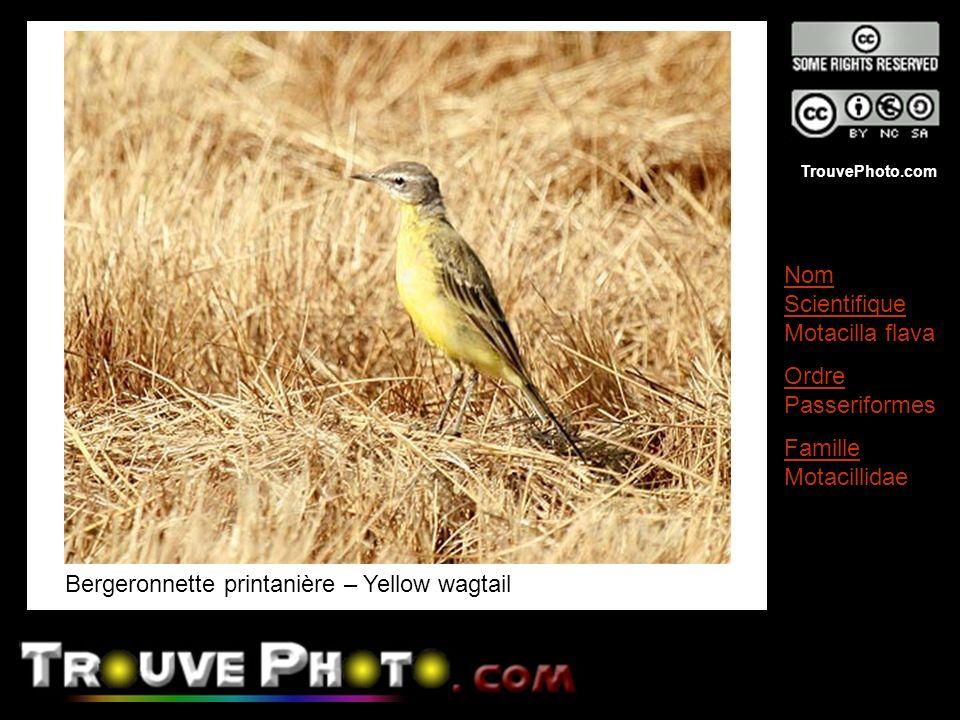 Bergeronnette printanière – Yellow wagtail