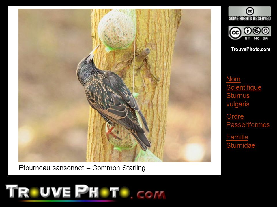 Etourneau sansonnet – Common Starling