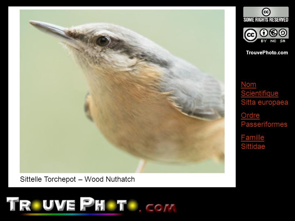 Sittelle Torchepot – Wood Nuthatch