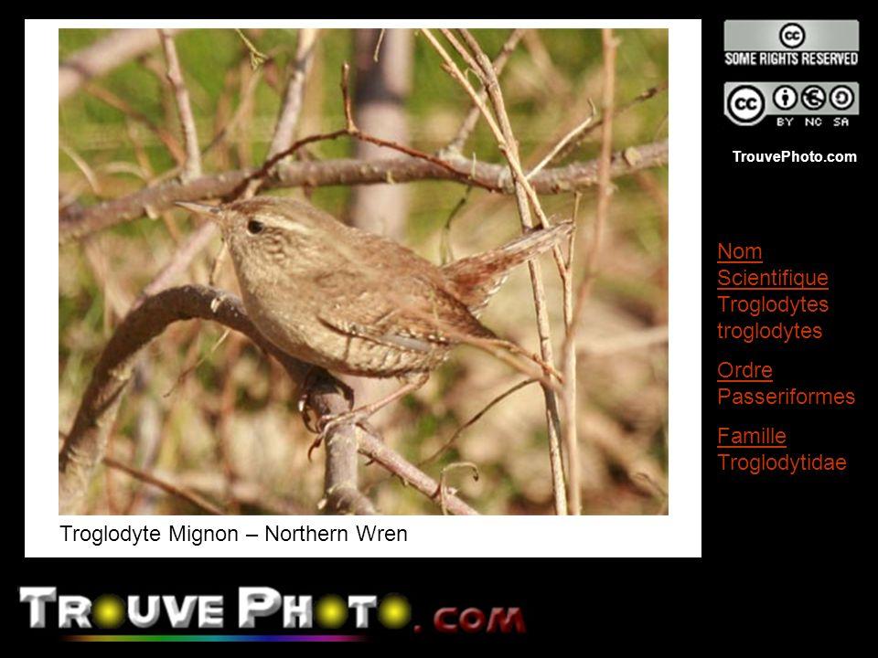 Troglodyte Mignon – Northern Wren