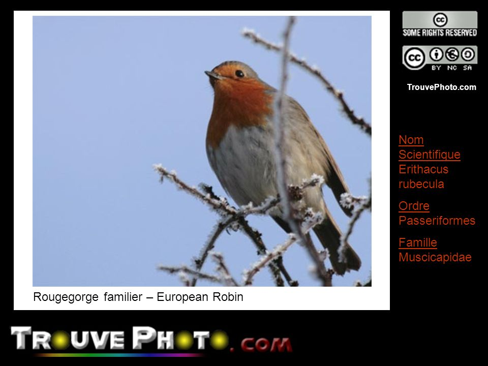 Rougegorge familier – European Robin
