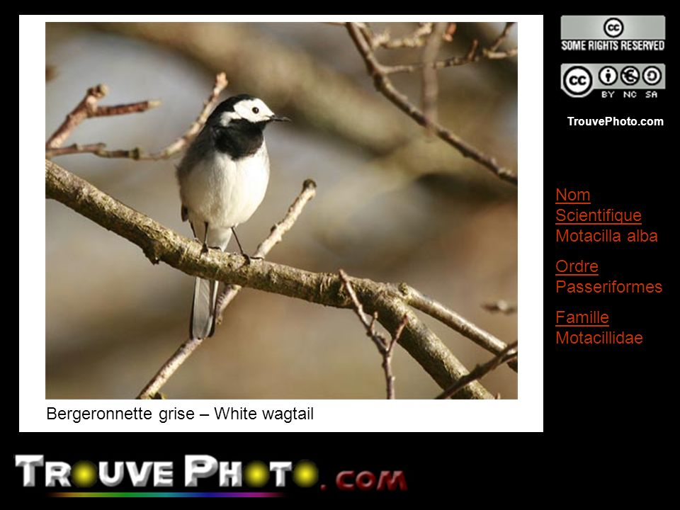 Bergeronnette grise – White wagtail