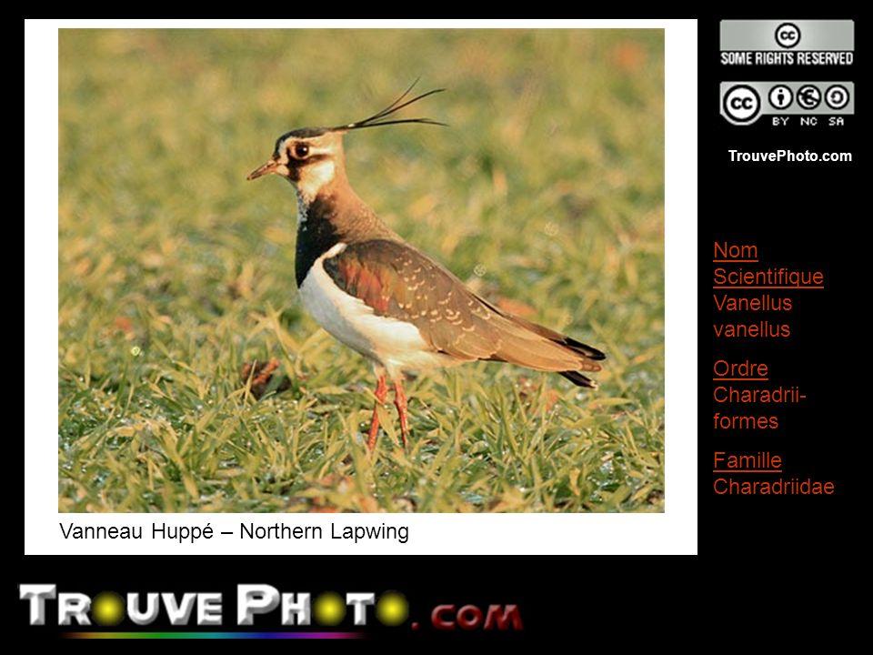 Vanneau Huppé – Northern Lapwing