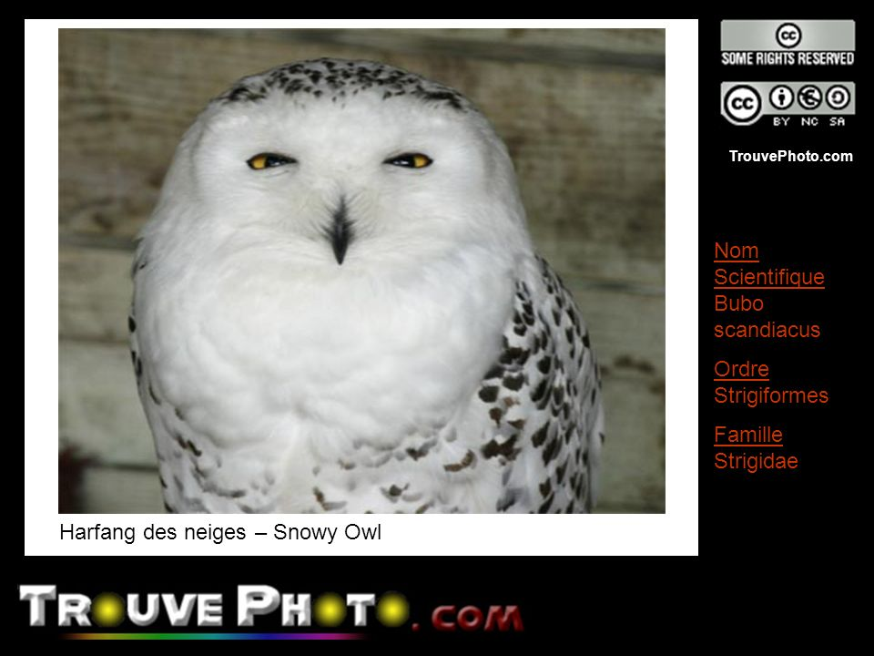 Harfang des neiges – Snowy Owl