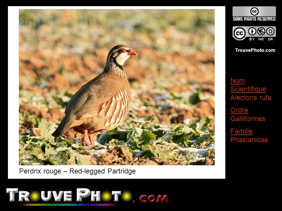 Perdrix rouge – Red-legged Partridge