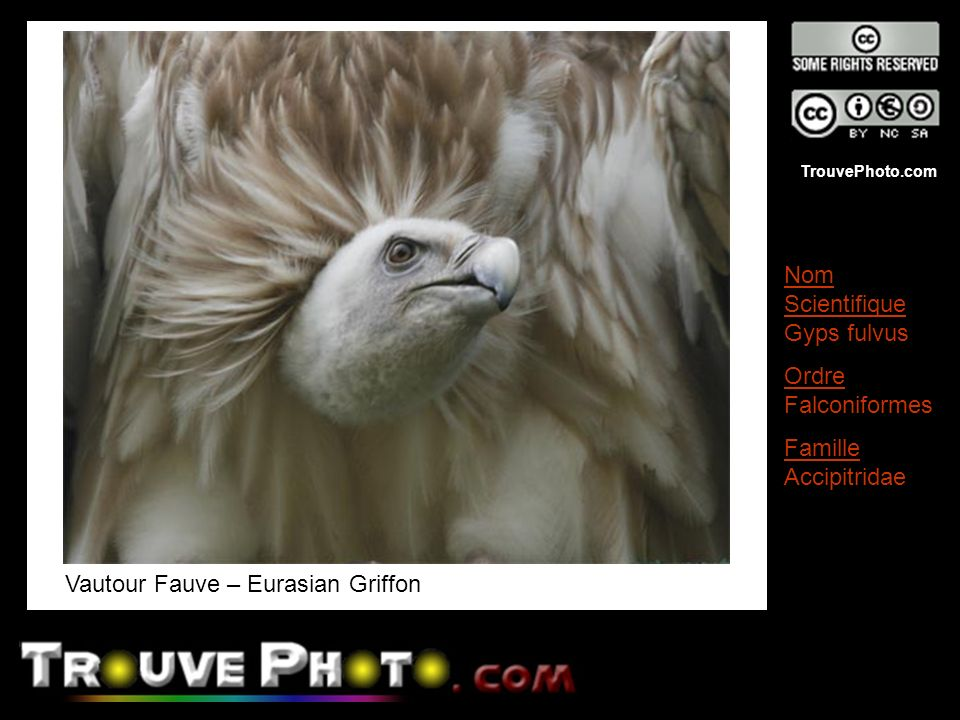Vautour Fauve – Eurasian Griffon