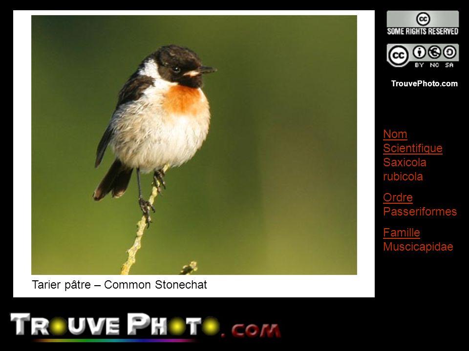 Tarier pâtre – Common Stonechat