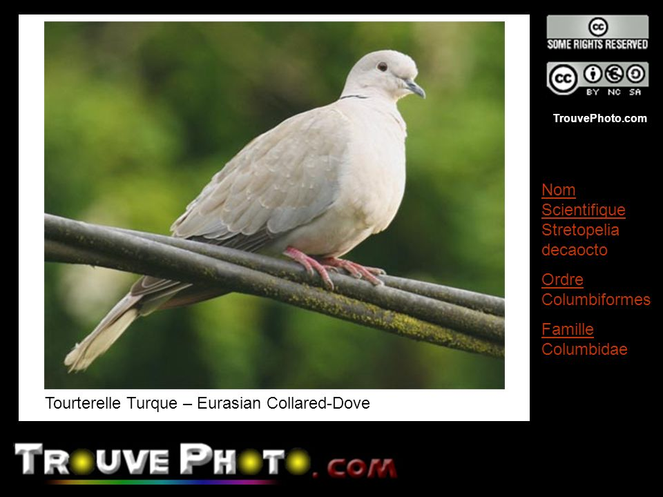 Tourterelle Turque – Eurasian Collared-Dove