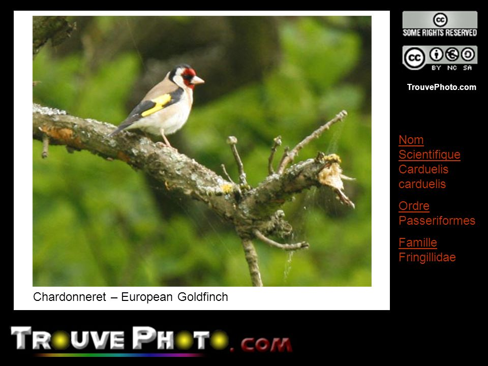 Chardonneret – European Goldfinch