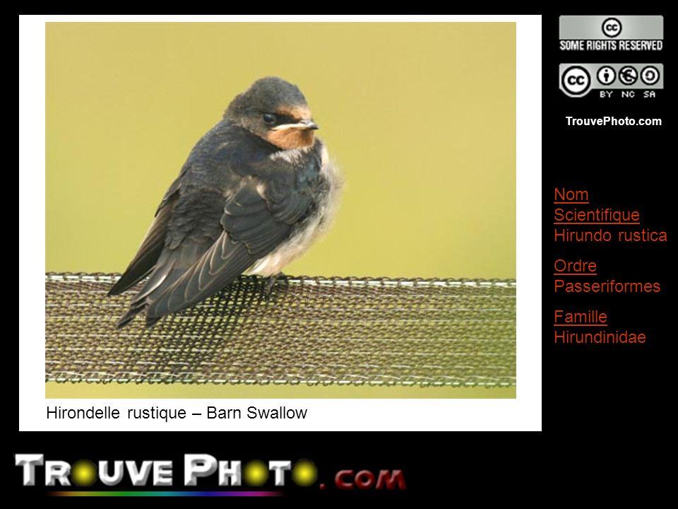 Hirondelle rustique – Barn Swallow