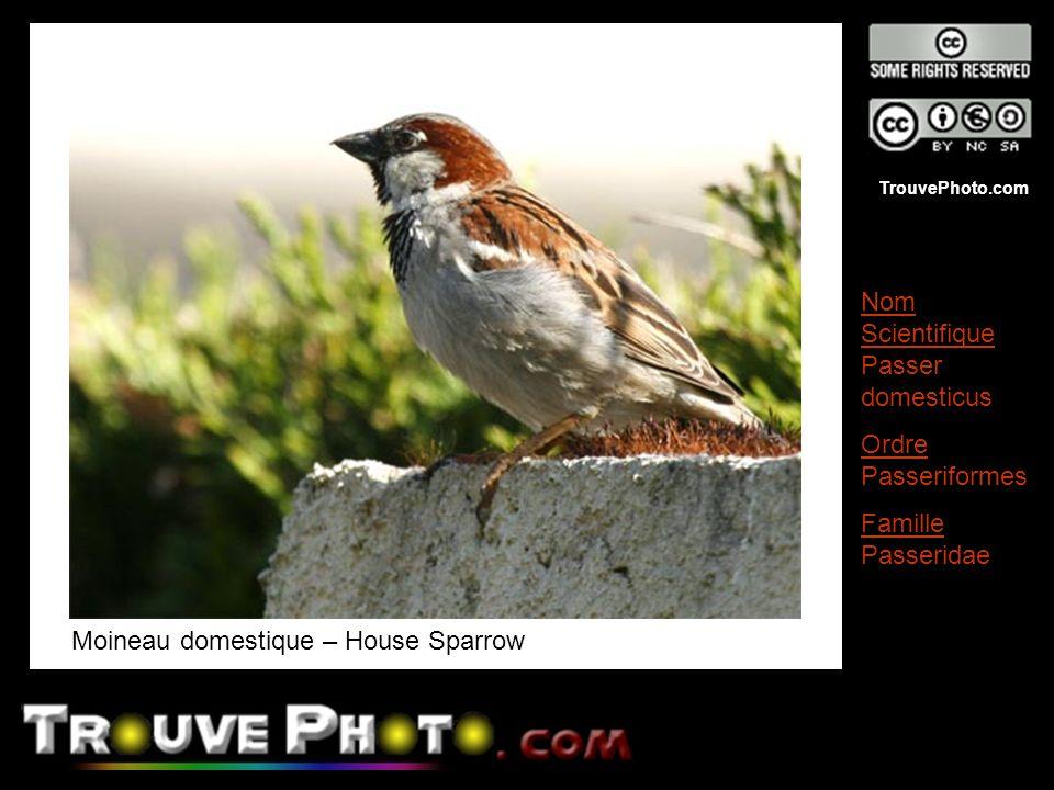 Moineau domestique – House Sparrow