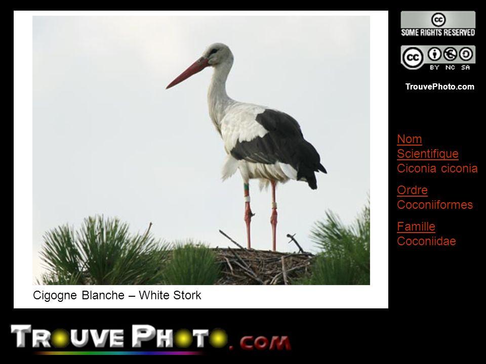 Cigogne Blanche – White Stork