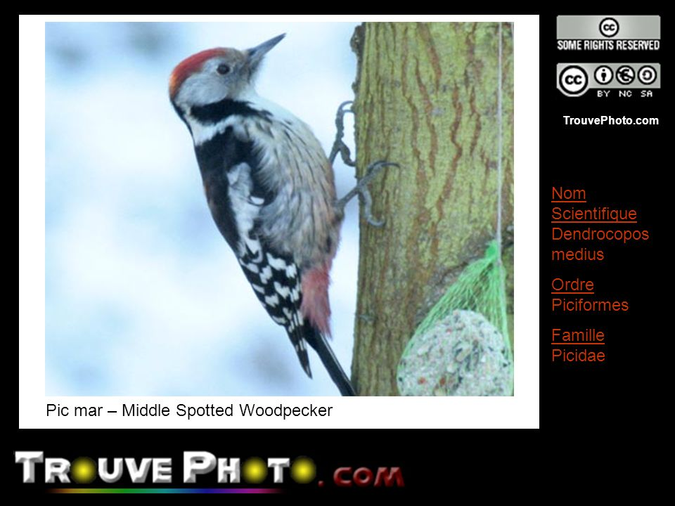 Pic mar – Middle Spotted Woodpecker