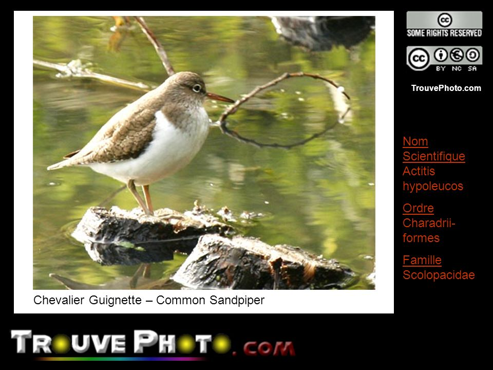 Chevalier Guignette – Common Sandpiper