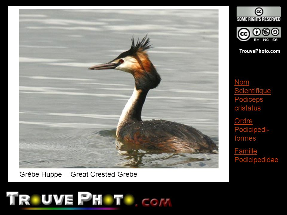 Grèbe Huppé – Great Crested Grebe