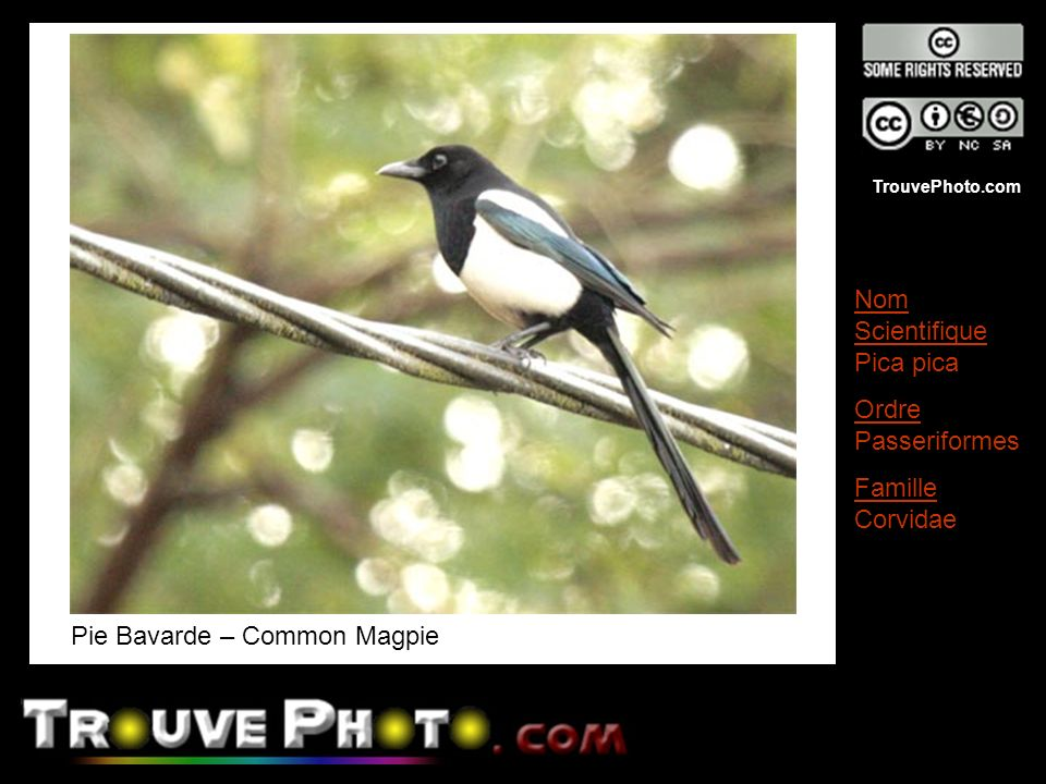 Pie Bavarde – Common Magpie