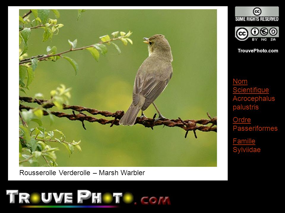 Rousserolle Verderolle – Marsh Warbler