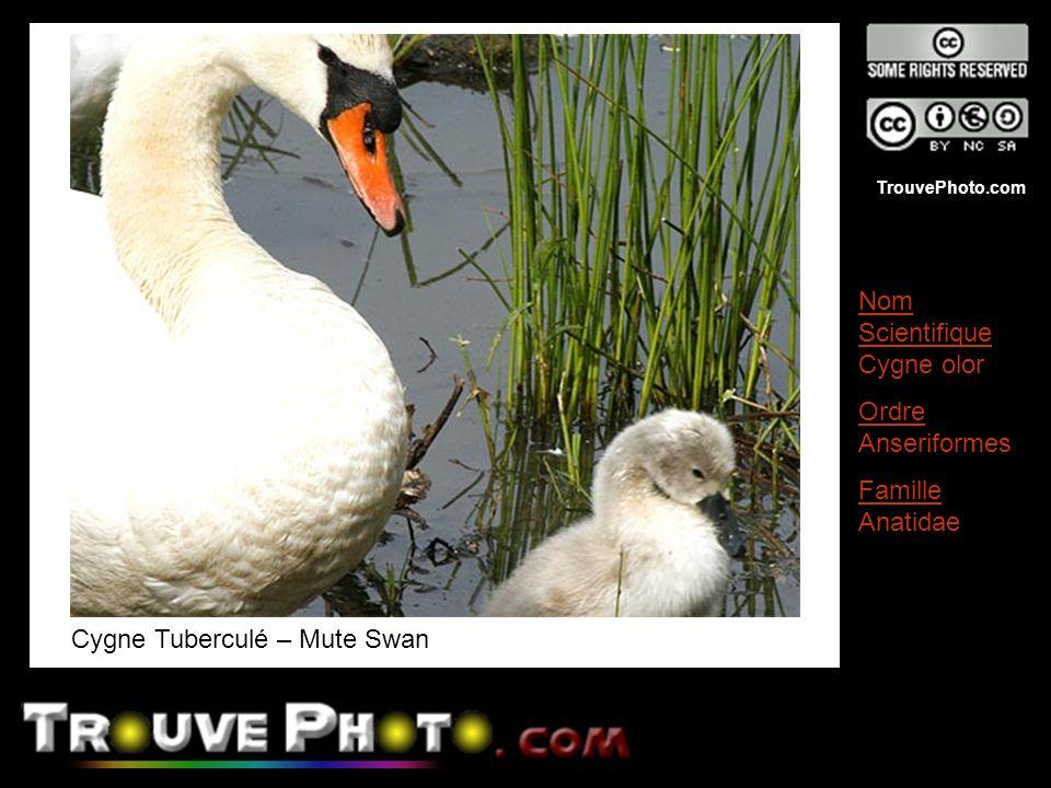 Cygne Tuberculé – Mute Swan