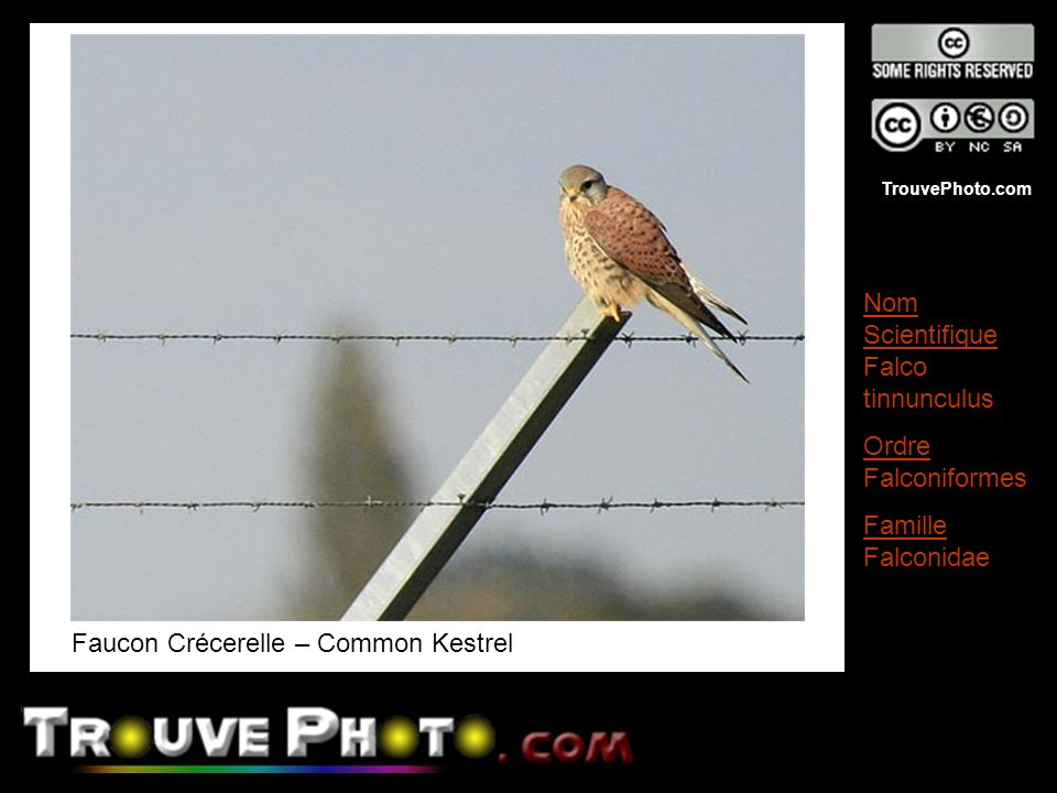 Faucon Crécerelle – Common Kestrel
