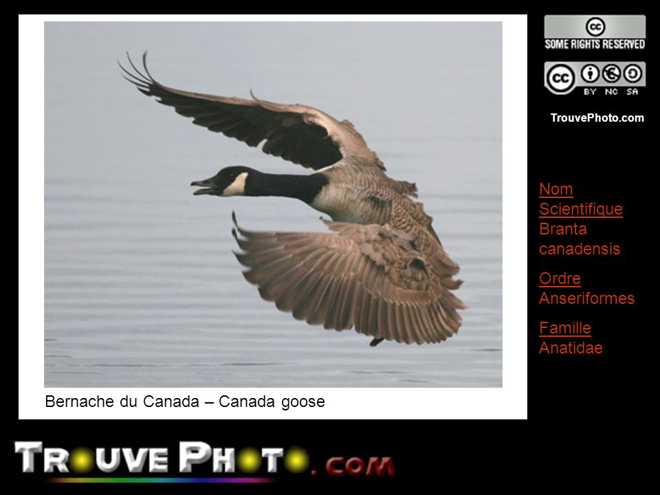 Bernache du Canada – Canada goose