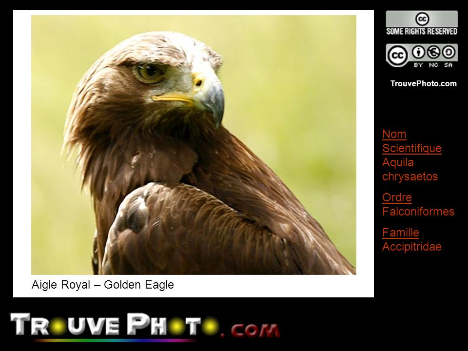 Aigle Royal – Golden Eagle
