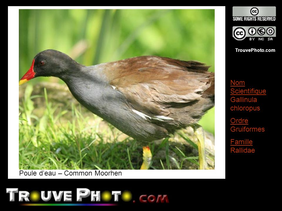 Poule d'eau – Common Moorhen