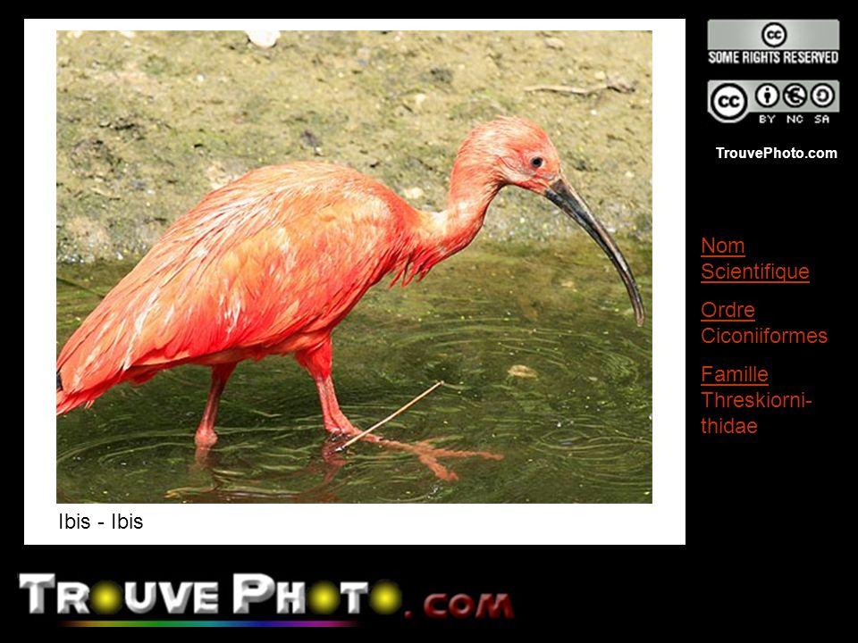 Ibis - Ibis Nom Scientifique Ordre Ciconiiformes Famille Threskiorni-thidae