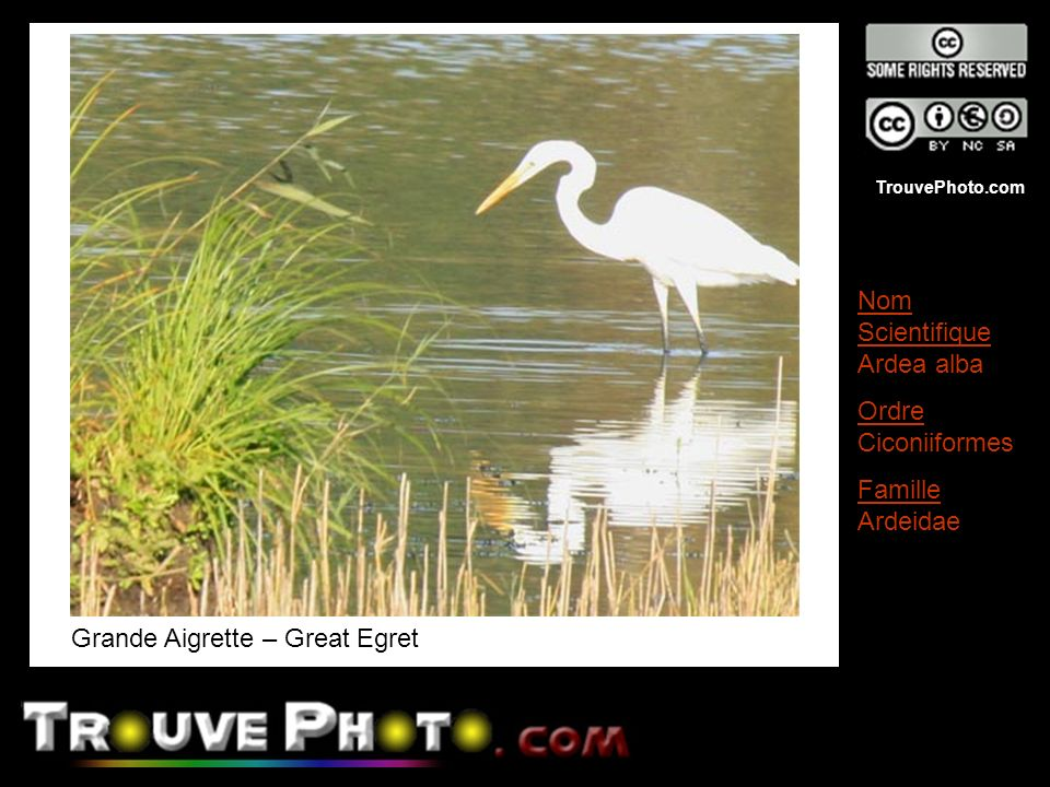 Grande Aigrette – Great Egret