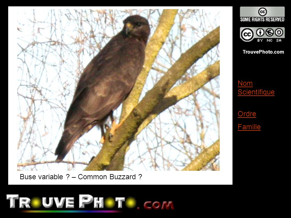 Buse variable – Common Buzzard