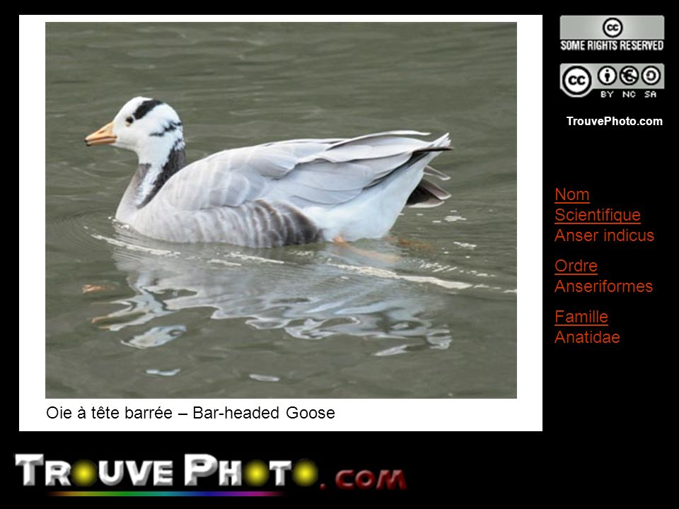 Oie à tête barrée – Bar-headed Goose