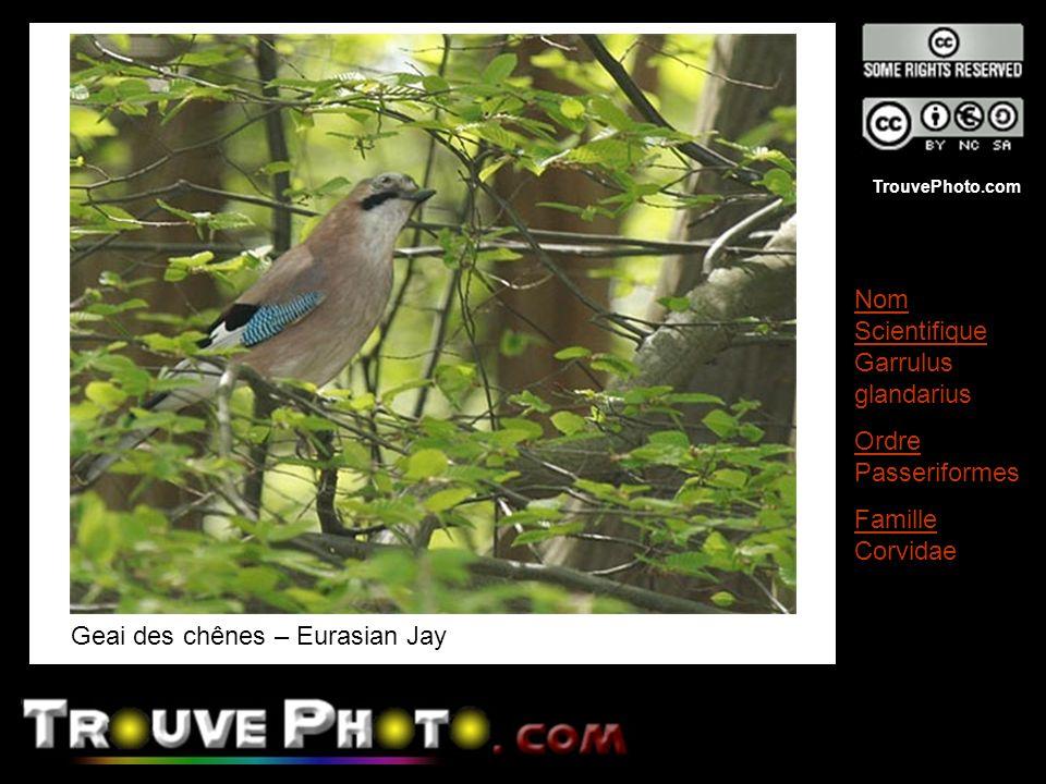 Geai des chênes – Eurasian Jay