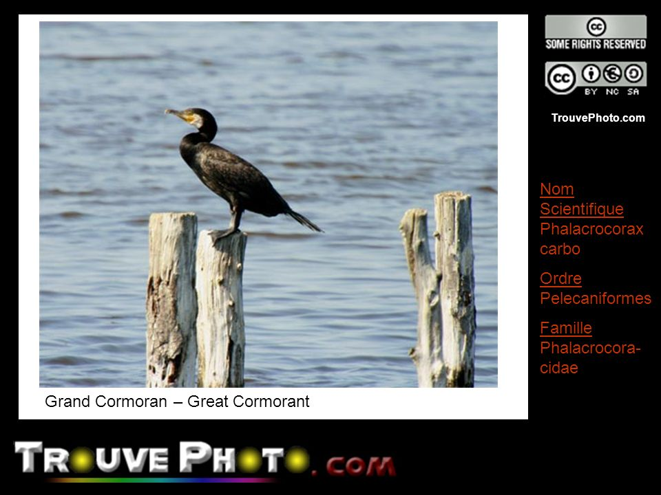 Grand Cormoran – Great Cormorant