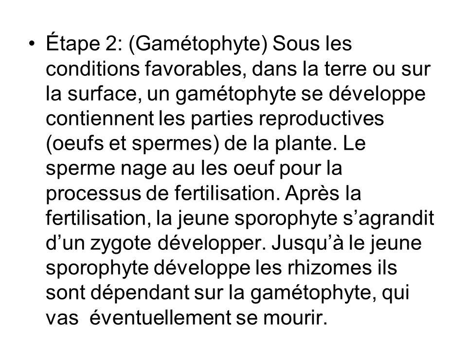 Étape 2: (Gamétophyte) Sous les conditions favorables, dans la terre ou sur la surface, un gamétophyte se développe contiennent les parties reproductives (oeufs et spermes) de la plante.