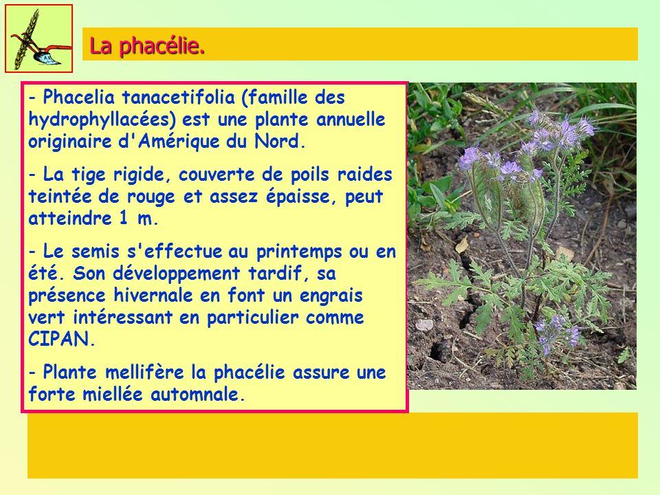 La phacélie. Phacelia tanacetifolia (famille des hydrophyllacées) est une plante annuelle originaire d Amérique du Nord.