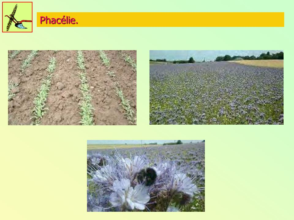 Phacélie.