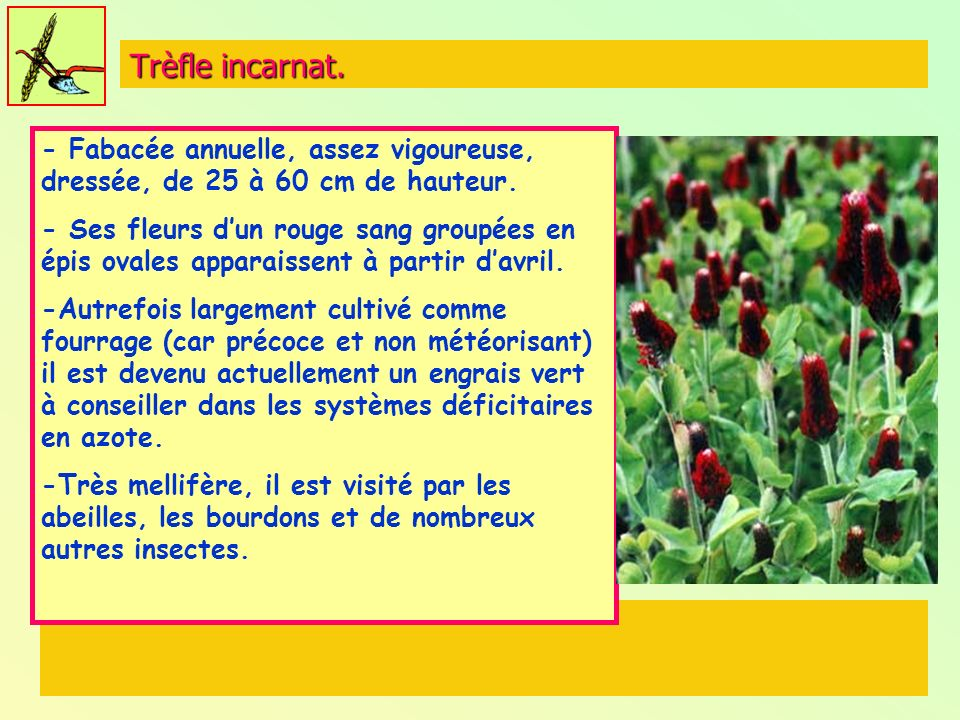 Trèfle incarnat. - Fabacée annuelle, assez vigoureuse, dressée, de 25 à 60 cm de hauteur.