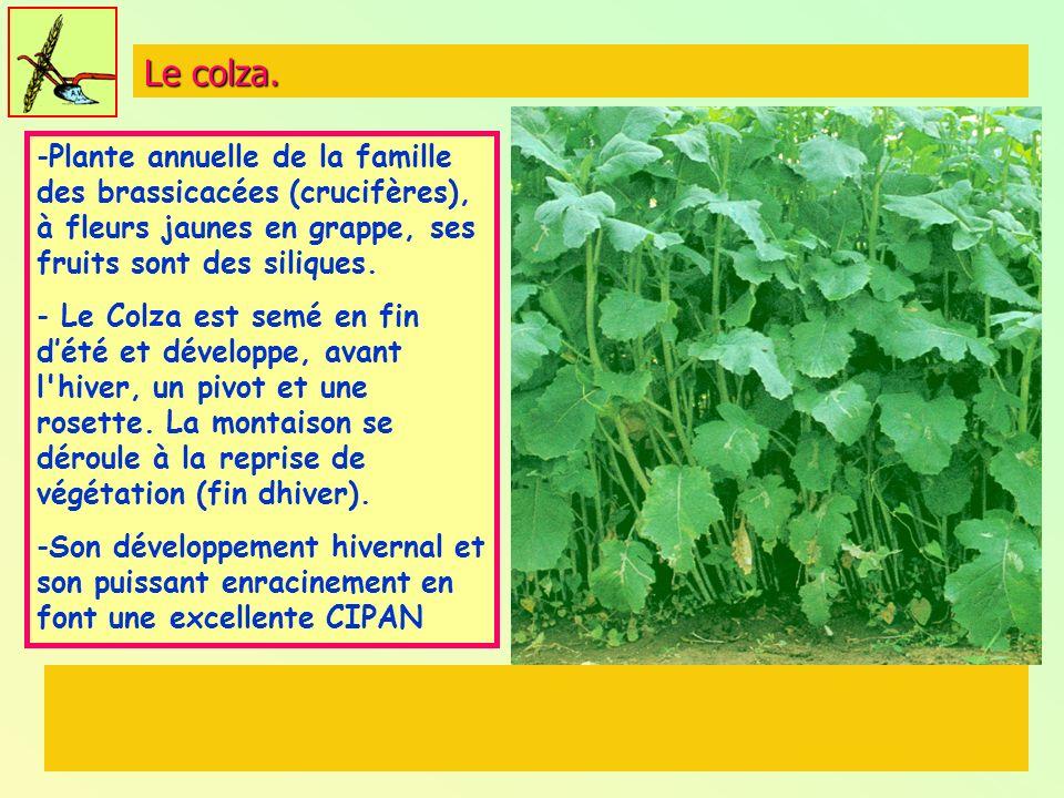 Le colza. Plante annuelle de la famille des brassicacées (crucifères), à fleurs jaunes en grappe, ses fruits sont des siliques.
